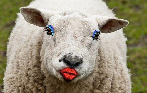 ovca_pari